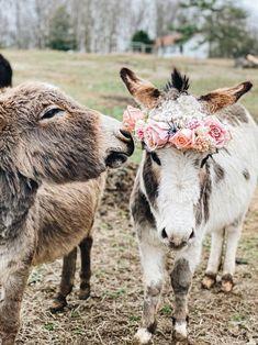 Baby Donkey, Cute Donkey, Mini Donkey, Baby Farm Animals, Animals And Pets, Funny Animals, Baby Cows, Super Cute Animals, Cute Little Animals