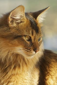 We've collected 50 of the most memorable cat quips spoken or put to pen by famous people from all walks of life. Pretty Cats, Beautiful Cats, Animals Beautiful, Cute Animals, Cute Cats And Kittens, Kittens Cutest, Cat Playground, Cat Pose, Somali