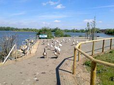 Watermead Park birdies, Leicester, England, 2013