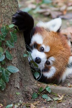 """beauty-rendezvous: """" Red Panda (by Mark Dumont) """" ♥"""