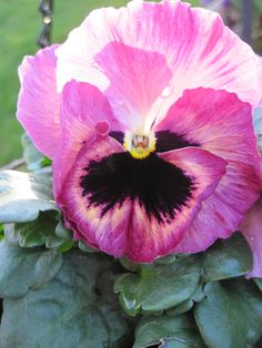 Pansy....Pretty  in pink