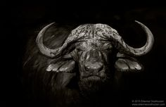 "The Cape Buffalo (Syncerus caffer) - My Website: <a href=""http://www.etienneoosthuizen.com/#!/index/G0000oNkdzIftPnU/thumbs"">www.etienneoosthuizen.com</a>  The African buffalo or Cape buffalo Syncerus caffer, A large and powerful bovine, the African Buffalo reaches shoulder heights of up to 1.5 m and a mass of 750 kg. Both sexes have horns, those of the bulls are characterised by a heavy boss and upward curved horns.  FACEBOOK: <a…"