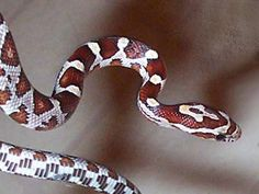 Florida Snake Photograph 026 - Detail photo - Juvenile Corn Snake