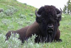 American bison   Bill Hubick Photography - American Bison (Bison bison)