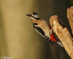 Great Spotted Woodpecker (Dendrocopos major),  this beautiful woodpecker (man) in the Netherlands can shoot down a dead end road next to a forest path.