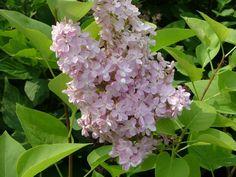 Liliac parfumat cu flori simple Syringa vulgaris `Belle de Nancy`
