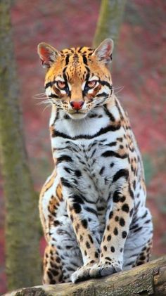 Ocelot (Leopardus pardalis) by Nicolas Rueda Newmark Small Wild Cats, Big Cats, Cool Cats, Cats And Kittens, Nature Animals, Animals And Pets, Funny Animals, Baby Animals, Cute Animals