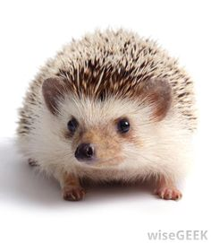 European hedgehog | What is a Hedgehog? (with pictures)