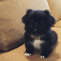 An Owner Guide for Pomchi – Chihuahua Pomeranian Mix Pomeranian Chihuahua Mix, Pekingese Puppies, Puppies And Kitties, Doggies, Teacup Puppies, Cute White Puppies, Cute Puppies, Cute Dogs, Cute Baby Animals