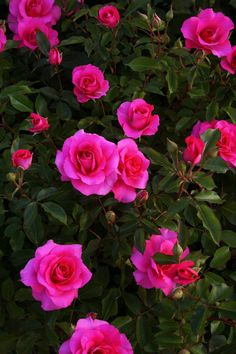 Captivating Why Rose Gardening Is So Addictive Ideas. Stupefying Why Rose Gardening Is So Addictive Ideas. Beautiful Flowers Wallpapers, Beautiful Roses, Pretty Flowers, Flores Para Algernon, My Flower, Flower Power, Flowers For Algernon, Photo Frame Design, Rose Wallpaper