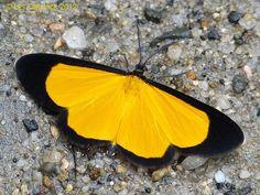Moth (Xanthiris sp. possibly) by LPJC, via Flickr