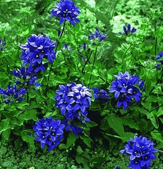 Campanula glomerata 'Superba' (Clustered Bellflower, Dane's Blood) - likes clay