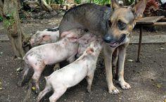 Essa é a cadelinha Yeti, alimentando quatro porquinhos