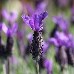 Lavender at the garden centre  lavender, colour, flowers, purple