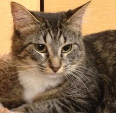 Maine Coon Cat Rescue Greenville Sc