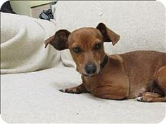Pictures of Greta a Dachshund Mix for adoption in Silverdale, WA who needs a loving home.