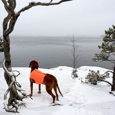 Vizsla & winter at archipelago in Finland