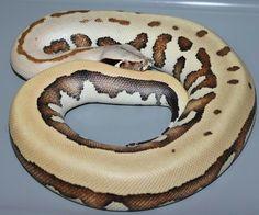 Wow! Goldeneye blood python!