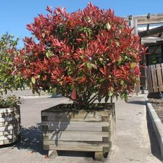 Photinia Red Robin, Patio Trees, Garden Hedges, Backyard Landscaping, Landscaping Ideas, Exterior, Landscape, Flowers, Outdoor