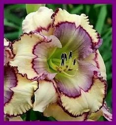 Daylily 'Stencilled Infusion'