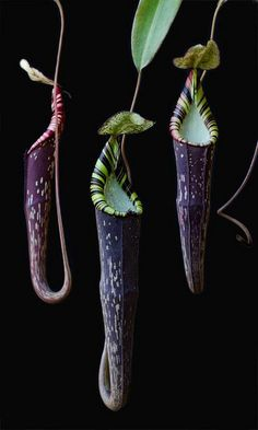 Nepenthes spectabilis North Sumatra, water catchers, also pitcher plant Weird Plants, Unusual Plants, Rare Plants, Exotic Plants, Cool Plants, Unusual Flowers, Rare Flowers, Black Flowers, Amazing Flowers