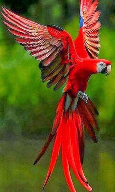 Parrot red bird Bokeh