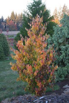 Parrotia persica 'Vanessa' (ijzerhout), loopt in voorjaar roodgerand uit… Deciduous Trees, Trees And Shrubs, Trees To Plant, Landscaping Plants, Garden Plants, Perennials, Roots, Flora, Landscape