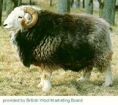 The Herdwick is found in the Lake District of northwestern England, on the Fells of Westmorland and Cumberland. They are a carpet wool and m...