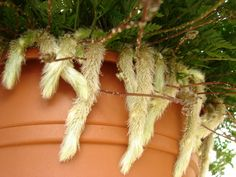 Rabbit's Foot Fern – Davallia Fejeensis – Indoor Care And Description - Modern House Plants Decor, Plant Decor, Indore Plants, Indoor Ferns, Indoor Garden, Garden Plants, Rabbit Foot Fern, Ferns Care, Whatsoever Things Are Lovely
