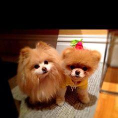 Cute pomeranian puppies!