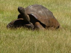 Galapagos Giant Tortoise Chelonoidis Nigra Natural History - Jonathan tortoise mind blowing 182 years old