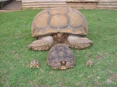 See the tiny little cute tortoise. Yes it turns I to this animal. Cute Tortoise, Tortoise Food, Tortoise Habitat, Sulcata Tortoise, Tortoise Care, Tortoise Turtle, Pet Turtle, Turtle Love, Kawaii Turtle