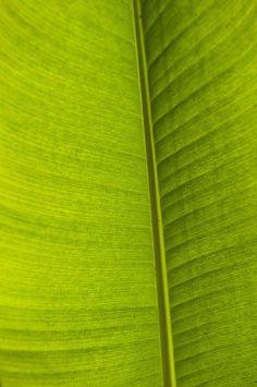 Detail Of Banana Leaf Andromeda Print By Ian Cumming
