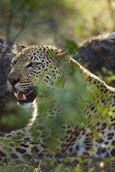 leopard, Kruger National Park, South Africa   David Noton Photography