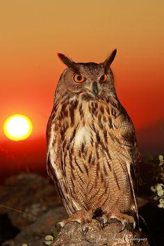 BÚHO REAL (Bubo bubo) / EAGLE OWL 1