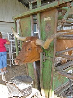 Cattle Training... Longhorn Cow in Powder River Chute