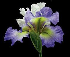 Tall Bearded Iris - Alizes by Richard Reynolds