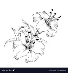 White lily isolated on a white background. Card with blooming lily. Lilly Flower Drawing, Lilies Drawing, Easy Flower Drawings, Lily Flower Tattoos, Pencil Drawings Of Flowers, Flower Sketches, Floral Drawing, Art Drawings Sketches, Cute Drawings