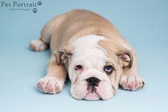 Hondenfotografie Leiderdorp - Foto van de fotoshoot voor Engelse Bulldog Beer