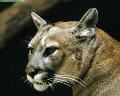 MyWay brings together the most comprehensive collection of search tools available to provide you with the information you need when you need it Animal Tracks, Mountain Lion, Ocelot, Pumas, Domestic Cat, Walking In Nature, Big Cats, Lions, Panther