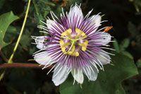 Flor de pasionaria o Passiflora sp, planta trepadora frecuente en los manglares de la Ciénaga Grande de Santa Marta.
