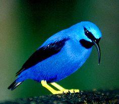 Blue Honeycreeper | ... birds here: dark blue Honeycreeper and the light blue Honeycreeper