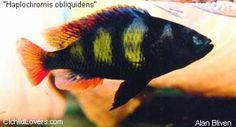 "Haplochromis sp. 44 ""Red Tail"""