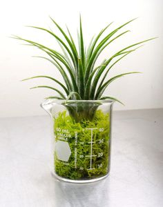 Air Plant in Glass Lab Beaker With Reindeer Moss by Plantzilla, $10.00