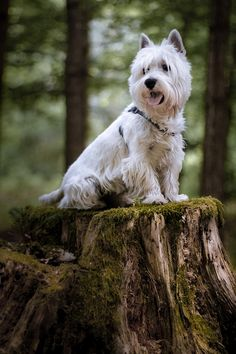 Lord of the forest - West Highland Terrier