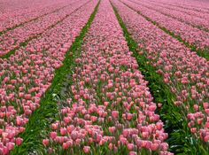 https://flic.kr/p/bQhwRn | A pink dream - For Maria, who loves pink tulips! | For   Maria   Buy this photo on Getty Images : Getty Images    See where this picture was taken. [?]