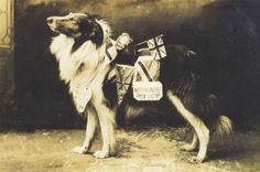 """WWI Collie War Dog: """"Bruce,"""" the rough collie mascot of Moseley Road Fire Station, Birmingham, England, circa Libby Hall Collection/Bishopsgate Institute Archive Military Working Dogs, Military Dogs, Police Dogs, Rough Collie, Collie Dog, Dog Photos, Dog Pictures, Scotch Collie, English Shepherd"""