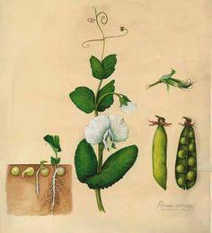 Botanical illustration: the pea