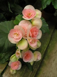 begonia - there aren't too many flowers that like the shade, but this is one of them.  Come in a variety of shades too.