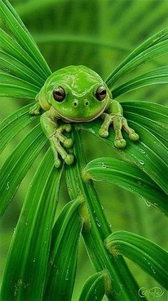 "Frog:  ""Ooh, I'm green with envy!"""